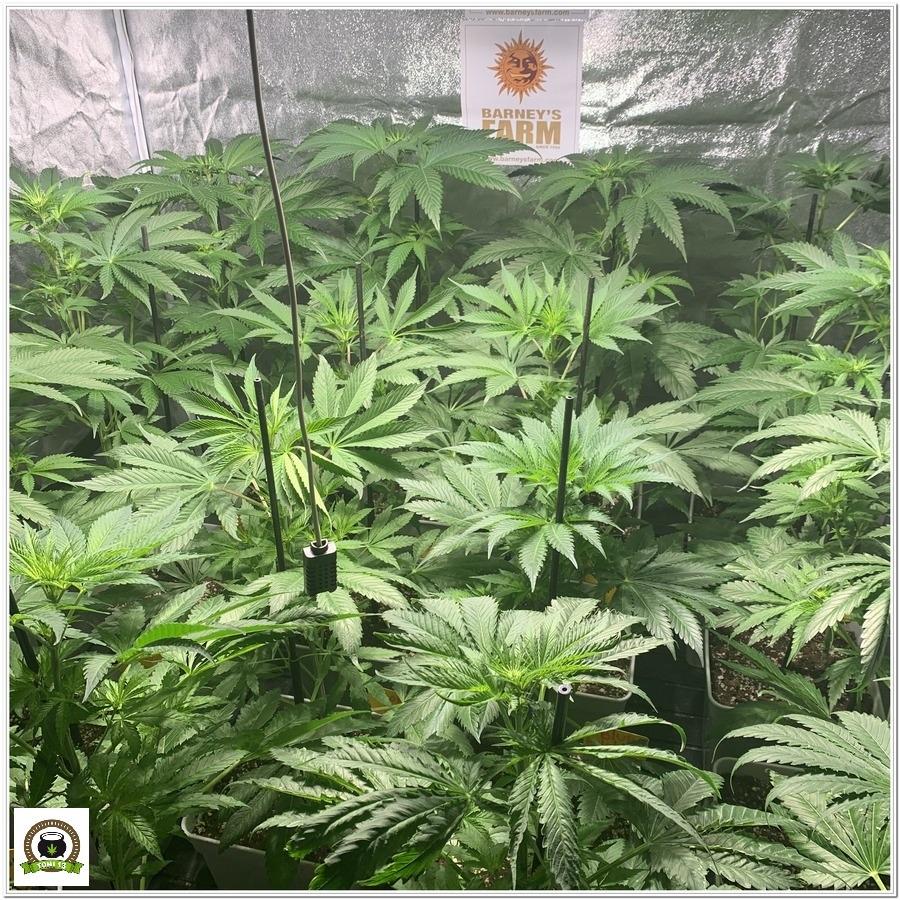 6-Barney`s Farm y toni13: Blueberry OG, Cookies Kush, Shiskaberry y Blue Gelato 41-1
