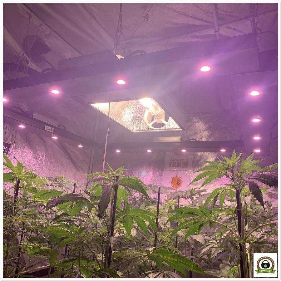 6-Barney`s Farm y toni13: Blueberry OG, Cookies Kush, Shiskaberry y Blue Gelato 41-2