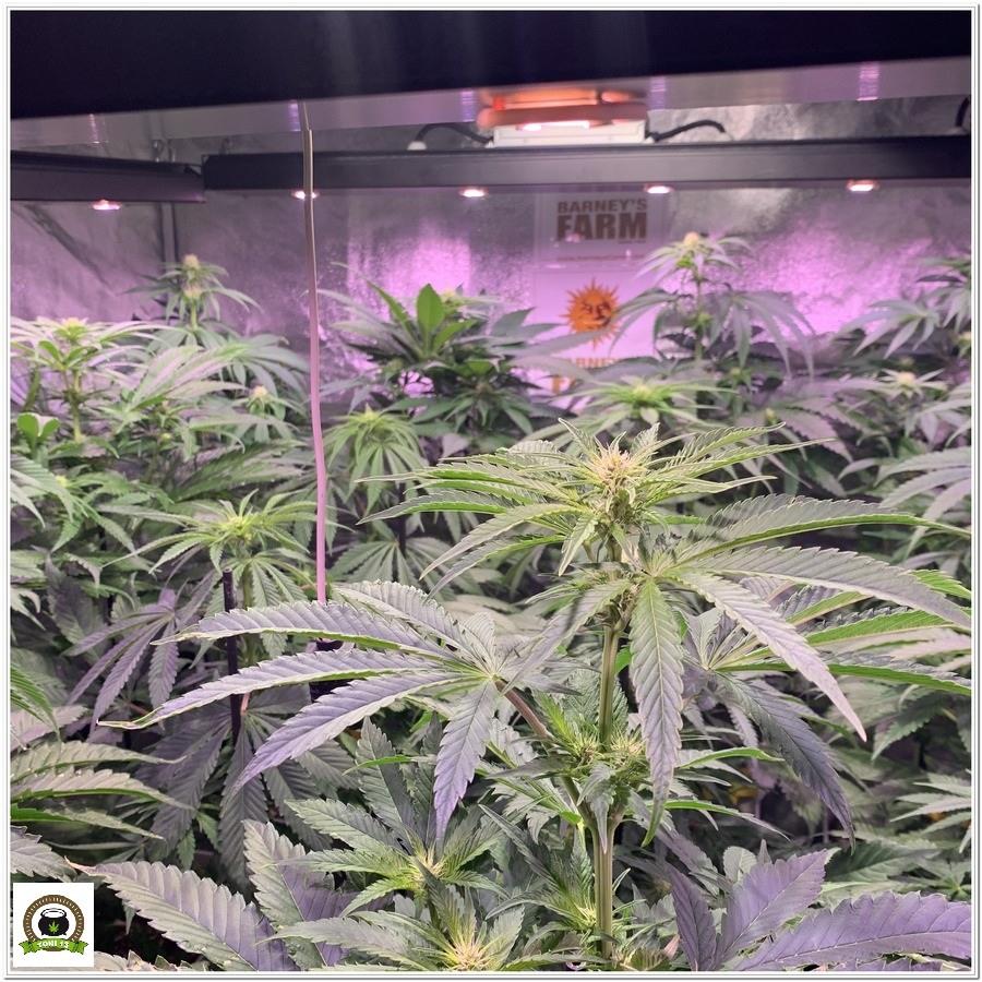 6-Barney`s Farm y toni13: Blueberry OG, Cookies Kush, Shiskaberry y Blue Gelato 41-3