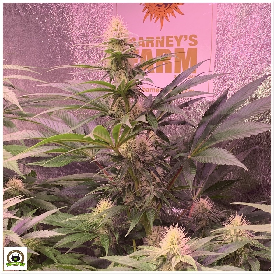 7-Barney`s Farm y toni13: Blueberry OG, Cookies Kush, Shiskaberry y Blue Gelato 41-3