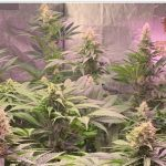8-Barney`s Farm y toni13: Blueberry OG, Cookies Kush, Shiskaberry y Blue Gelato 41