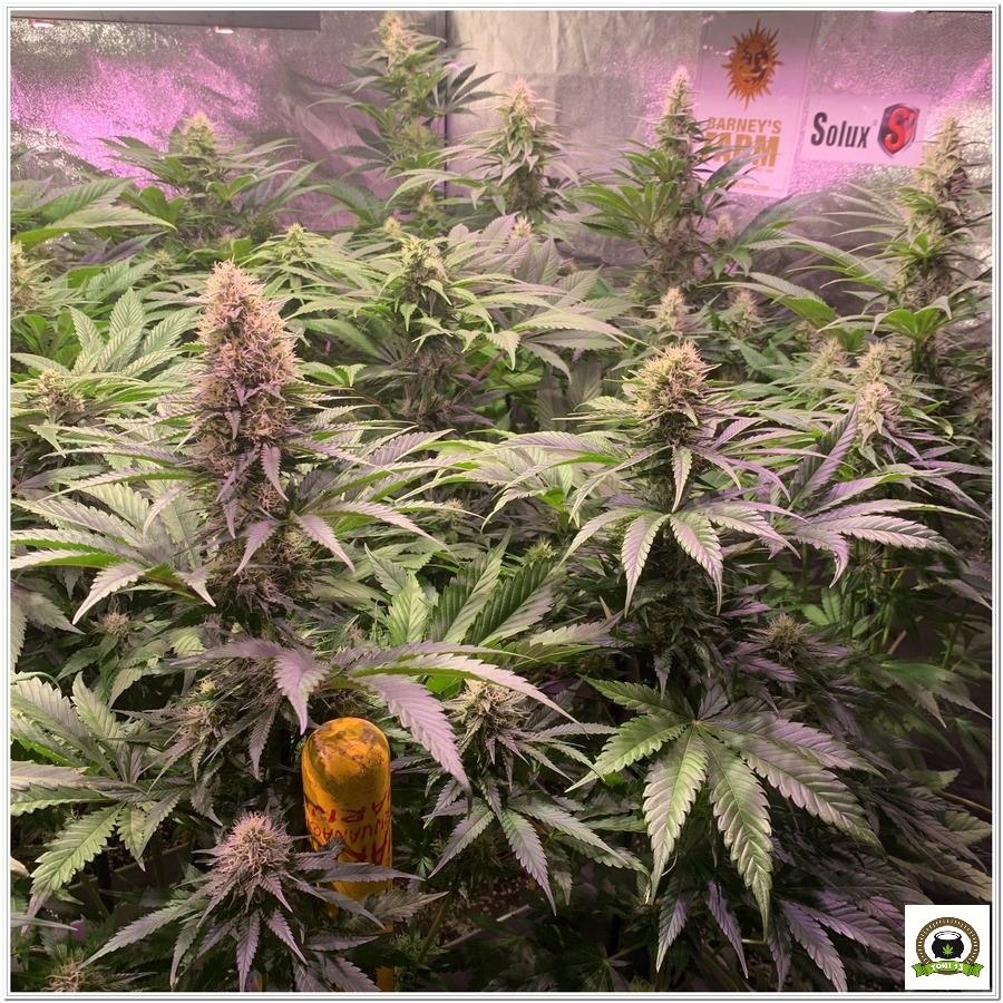 8-Barney`s Farm y toni13: Blueberry OG, Cookies Kush, Shiskaberry y Blue Gelato 41-4