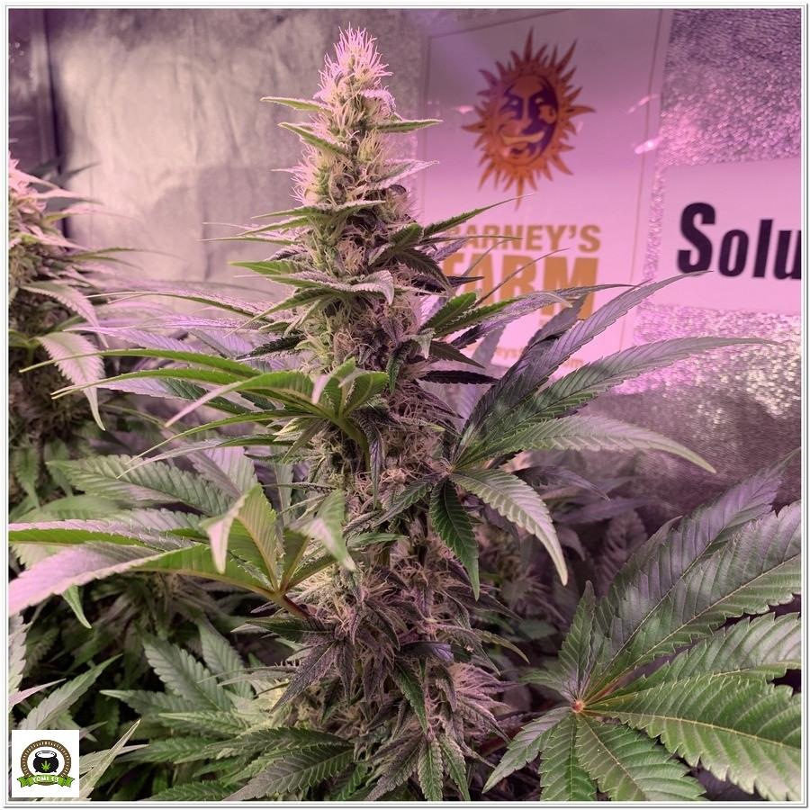 8-Barney`s Farm y toni13: Blueberry OG, Cookies Kush, Shiskaberry y Blue Gelato 41-5