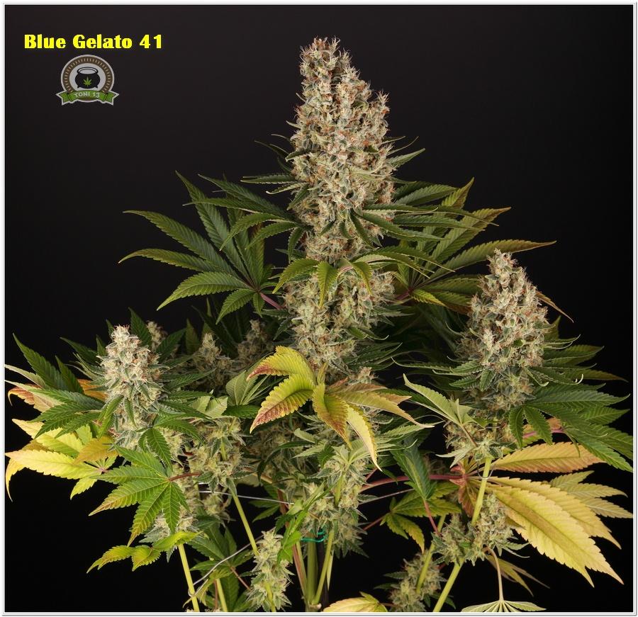 13-Barney`s Farm y toni13: Blueberry OG, Cookies Kush, Shiskaberry y Blue Gelato 41-5