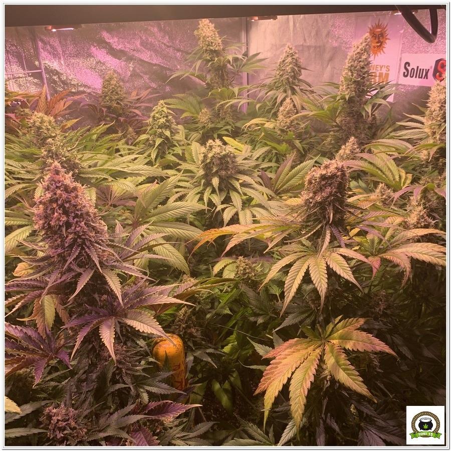 12-Barney`s Farm y toni13: Blueberry OG, Cookies Kush, Shiskaberry y Blue Gelato 41-1