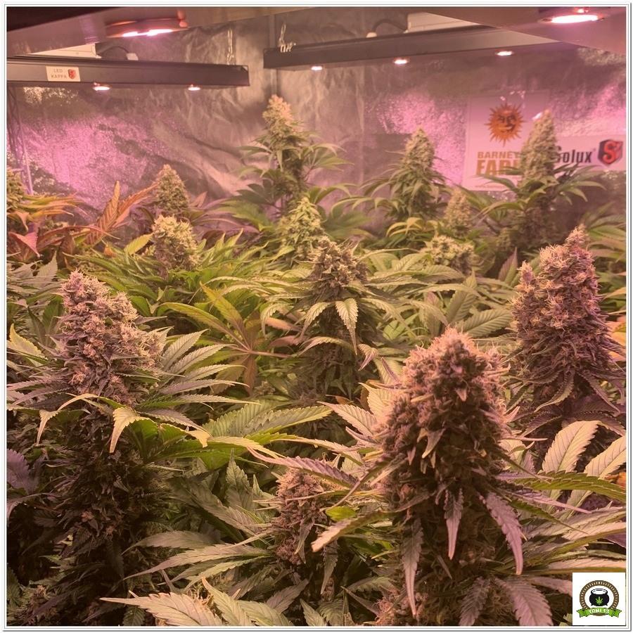 12-Barney`s Farm y toni13: Blueberry OG, Cookies Kush, Shiskaberry y Blue Gelato 41-2