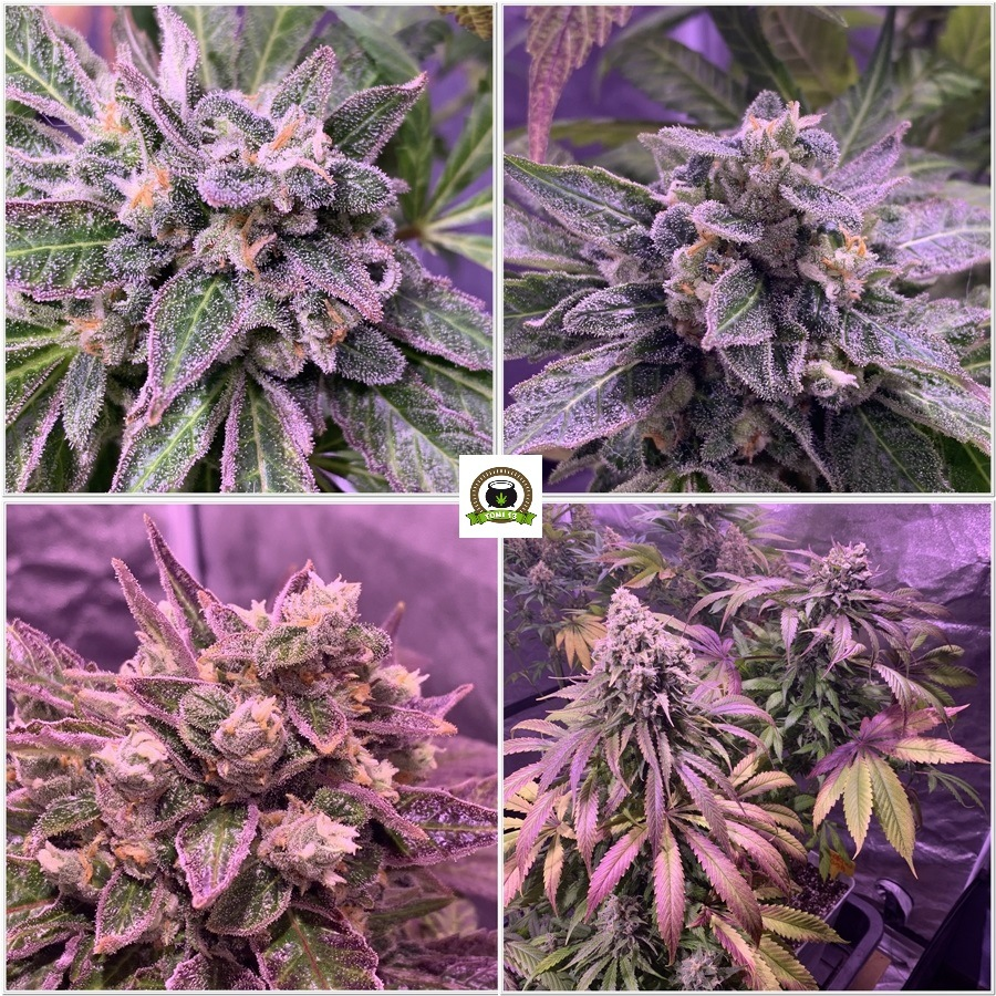 13-Barney`s Farm y toni13: Blueberry OG, Cookies Kush, Shiskaberry y Blue Gelato 41-3