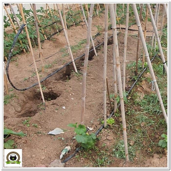2-Cultivo exterior 2020 amigos de cultivandomedicina.com y Barney´s Farm-1