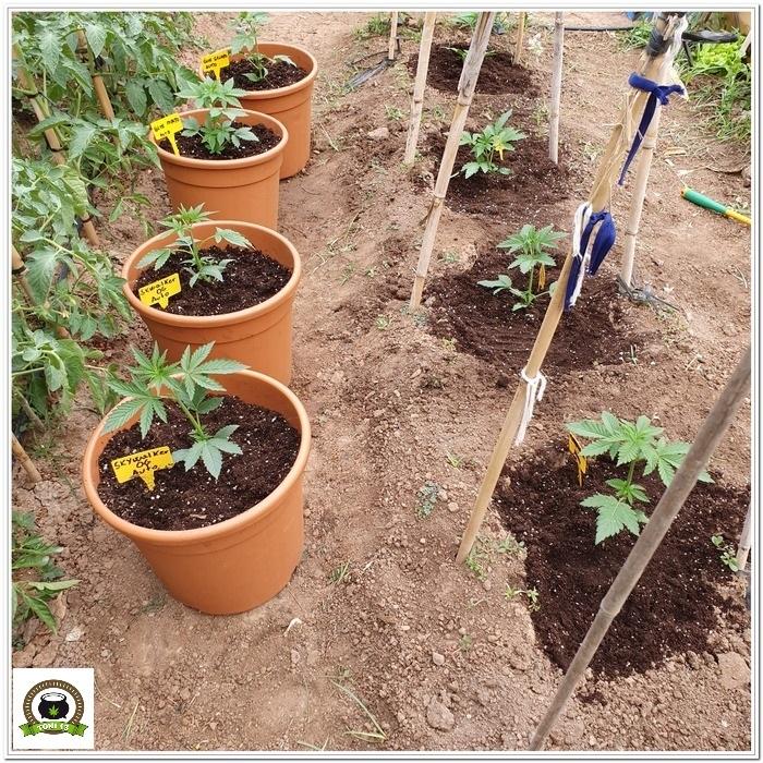 2-Cultivo exterior 2020 amigos de cultivandomedicina.com y Barney´s Farm-2