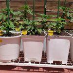 1-Cultivo exterior 2020 amigos de cultivandomedicina.com y Barney´s Farm.