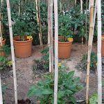2-Cultivo exterior 2020 amigos de cultivandomedicina.com y Barney´s Farm.