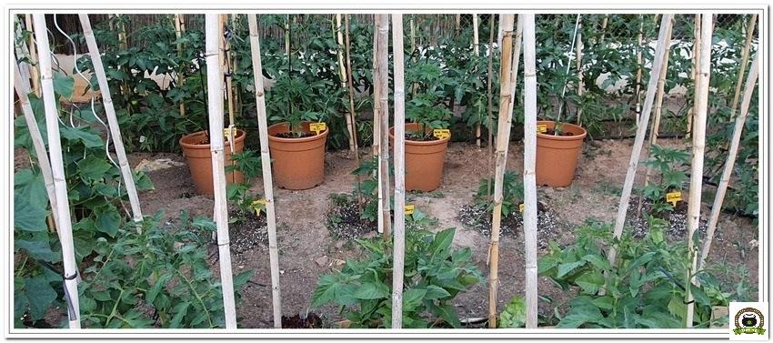 2-Cultivo exterior 2020 amigos de cultivandomedicina.com y Barney´s Farm-3