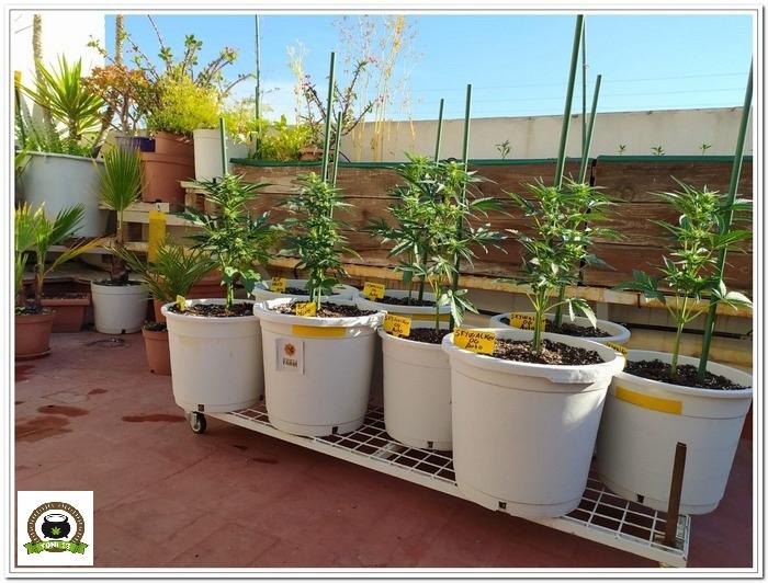 2-Cultivo exterior 2020 amigos de cultivandomedicina.com y Barney´s Farm-5