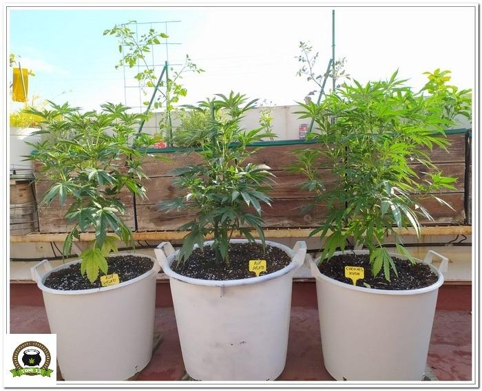 4-Cultivo exterior 2020 amigos de cultivandomedicina.com y Barney´s Farm.-1