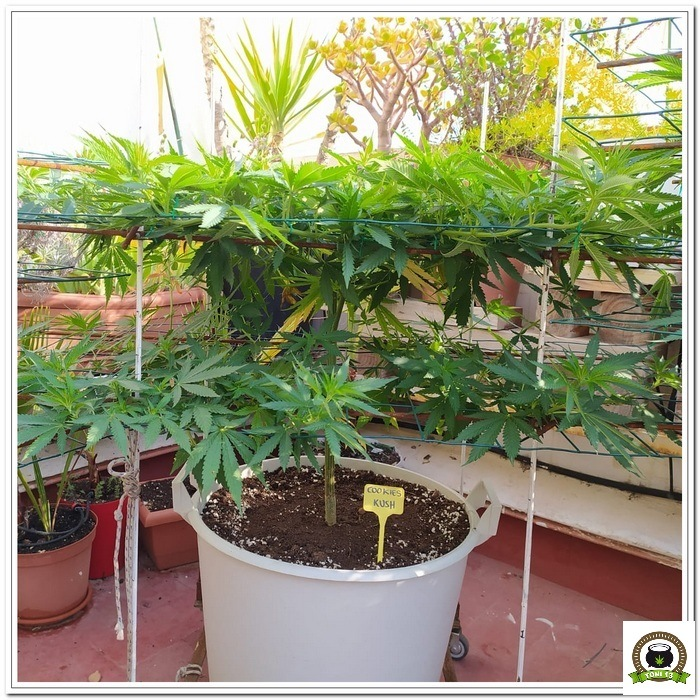 6-Cultivo exterior 2020 amigos de cultivandomedicina.com y Barney´s Farm.-1