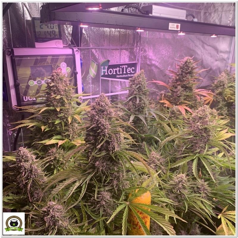 ¿Es eficiente cultivar plantas automáticas a 12/12?-1