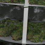 Cómo secar marihuana