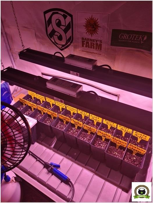 2-Barney´s Farm y Toni13: Mimosa EVO, Runtz Muffin, Phantom OG y Blueberry Cheese-1