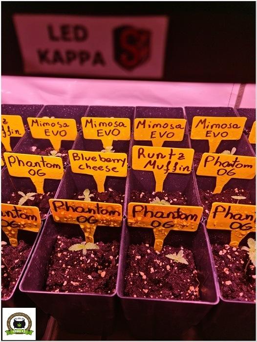 2-Barney´s Farm y Toni13: Mimosa EVO, Runtz Muffin, Phantom OG y Blueberry Cheese-3