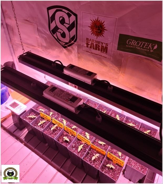 2-Barney´s Farm y Toni13: Mimosa EVO, Runtz Muffin, Phantom OG y Blueberry Cheese-4