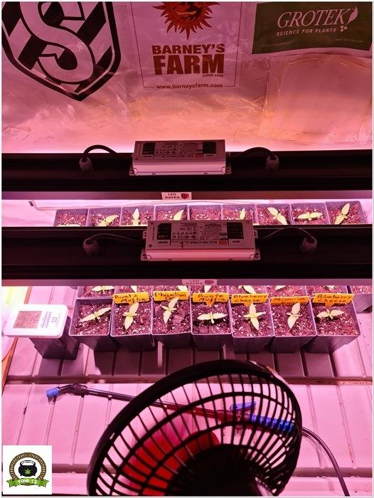 3-Barney´s Farm y Toni13: Mimosa EVO, Runtz Muffin, Phantom OG y Blueberry Cheese-1
