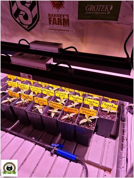 3-Barney´s Farm y Toni13: Mimosa EVO, Runtz Muffin, Phantom OG y Blueberry Cheese-2