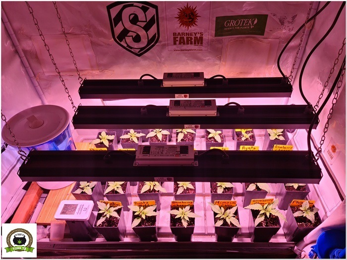 3-Barney´s Farm y Toni13: Mimosa EVO, Runtz Muffin, Phantom OG y Blueberry Cheese-4