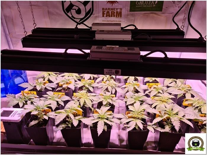5-Barney´s Farm y Toni13: Mimosa EVO, Runtz Muffin, Phantom OG y Blueberry Cheese-1