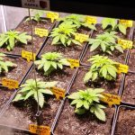5-Barney´s Farm y Toni13: Mimosa EVO, Runtz Muffin, Phantom OG y Blueberry Cheese