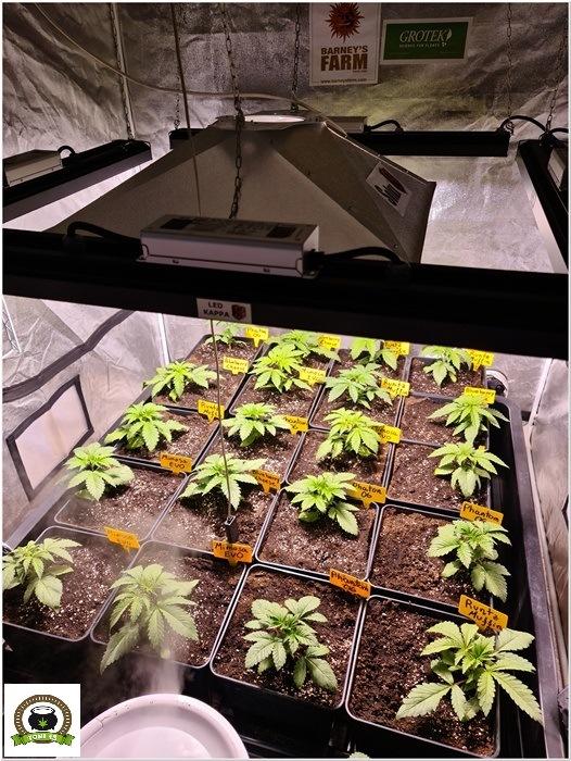 5-Barney´s Farm y Toni13: Mimosa EVO, Runtz Muffin, Phantom OG y Blueberry Cheese-4