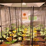 6-Barney´s Farm y Toni13: Mimosa EVO, Runtz Muffin, Phantom OG y Blueberry Cheese