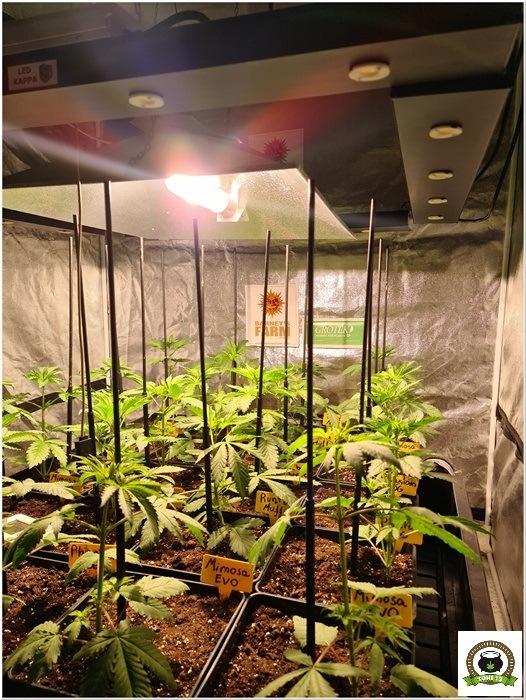 7-Barney´s Farm y Toni13: Mimosa EVO, Runtz Muffin, Phantom OG y Blueberry Cheese-1