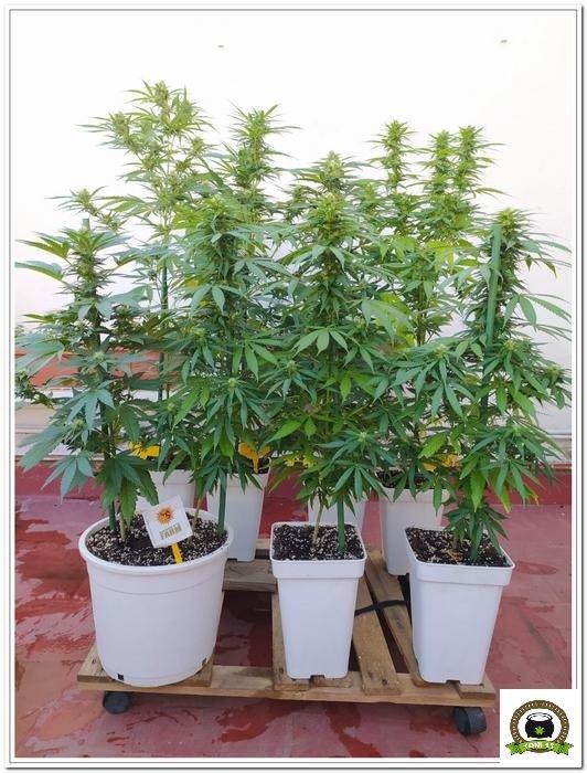 10-Cultivo exterior 2020 amigos de Cultivandomedicina y Barney´s Farm-5