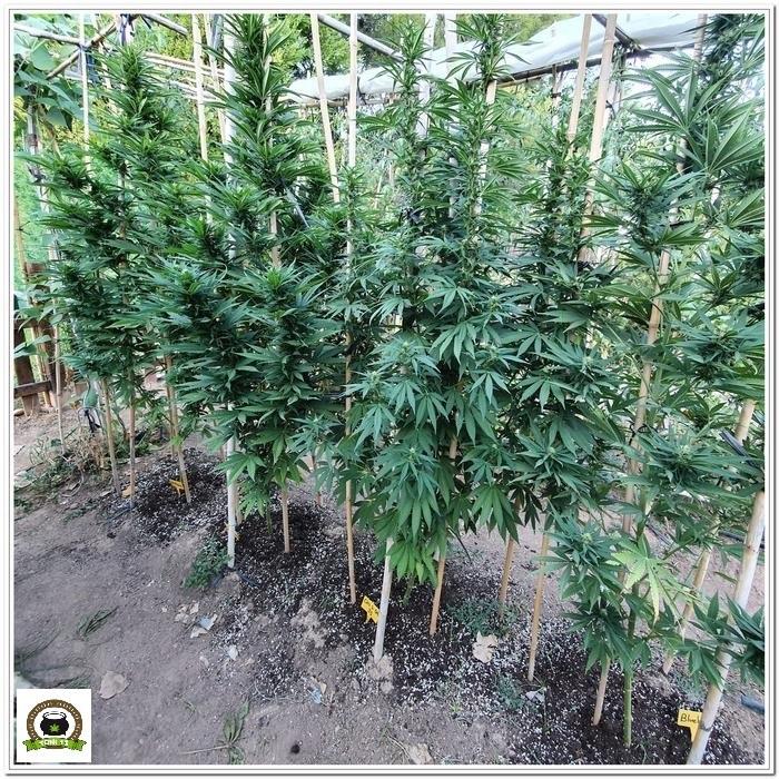 10-Cultivo exterior 2020 amigos de Cultivandomedicina y Barney´s Farm-1