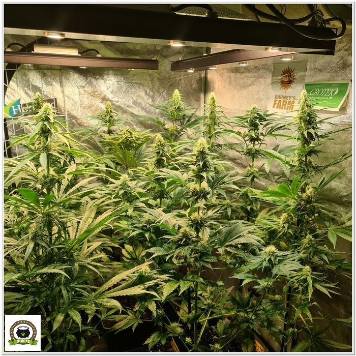 9-Barney´s Farm y Toni13: Mimosa EVO, Runtz Muffin, Phantom OG y Blueberry Cheese-1