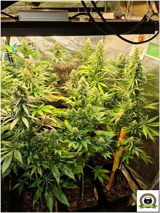 11-Barney´s Farm y Toni13: Mimosa EVO, Runtz Muffin, Phantom OG y Blueberry Cheese-4