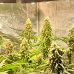 12-Barney´s Farm y Toni13: Mimosa EVO, Runtz Muffin, Phantom OG y Blueberry Cheese