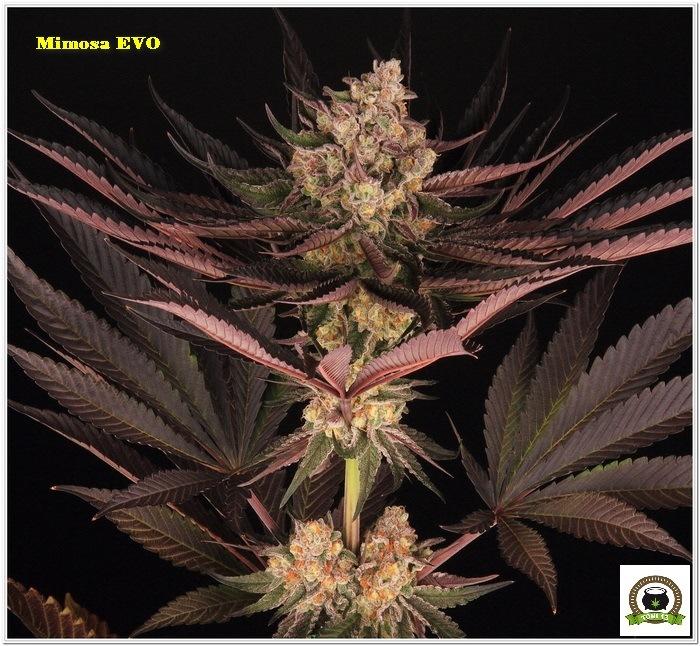 11-Barney´s Farm y Toni13: Mimosa EVO, Runtz Muffin, Phantom OG y Blueberry Cheese-8