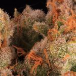 17-Barney´s Farm y Toni13: Mimosa EVO, Runtz Muffin, Phantom OG y Blueberry Cheese