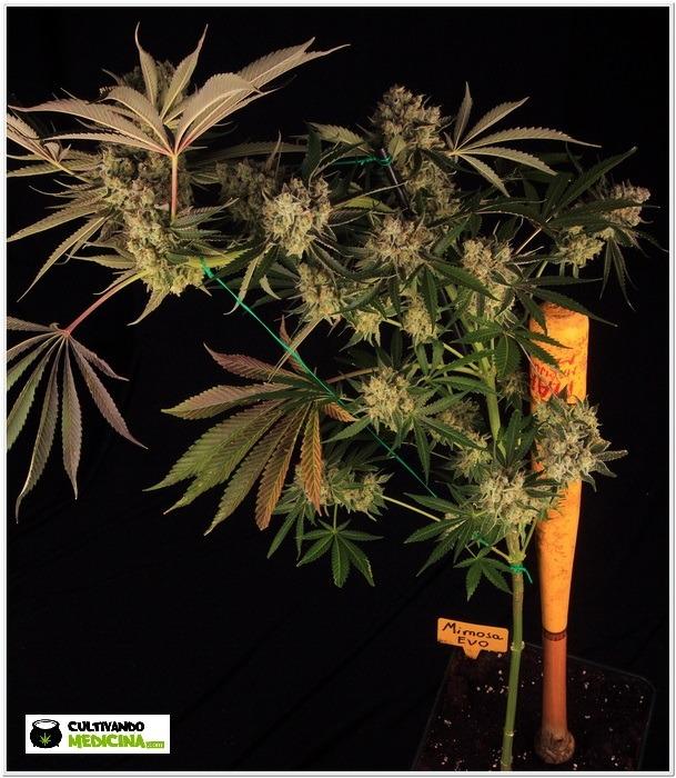 Como bajar la altura de plantas en floración-3