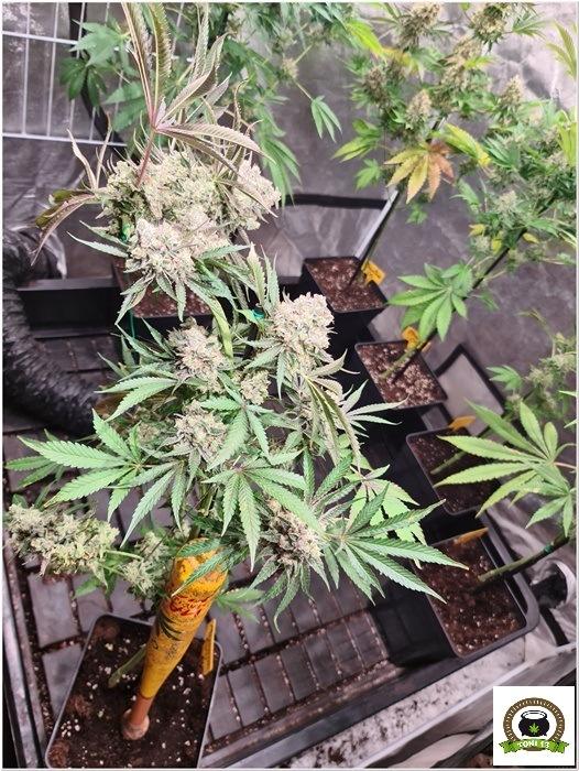 Como bajar la altura de plantas en floración-4