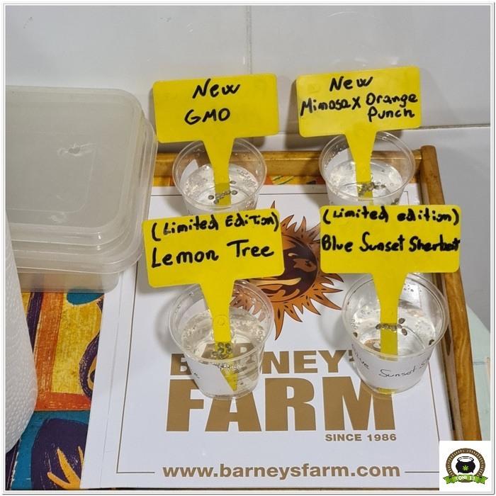 Barney`s Farm y Toni13: Lemon Tree, GMO, Mimosa x Orange Punch y Blue S.S-1