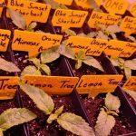 2-Barney`s Farm y Toni13: Lemon Tree, GMO, Mimosa x Orange Punch y Blue S.S