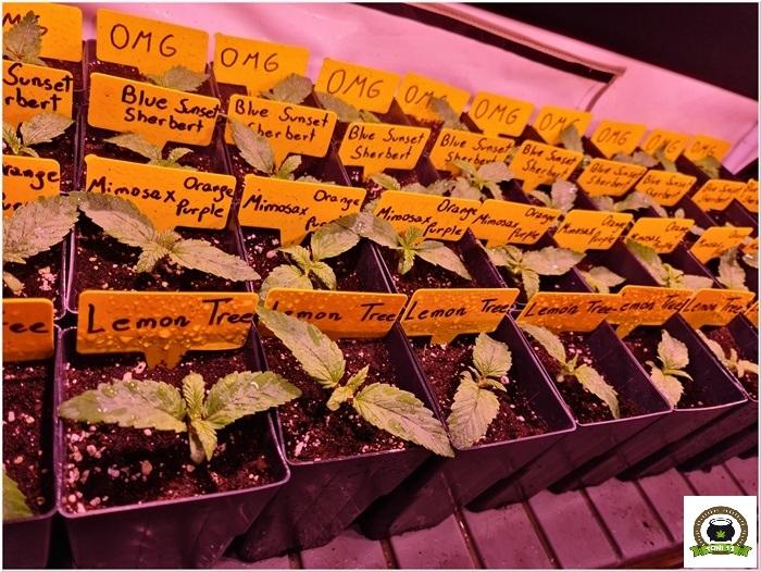 2-Barney`s Farm y Toni13: Lemon Tree, GMO, Mimosa x Orange Punch y Blue S.S-7