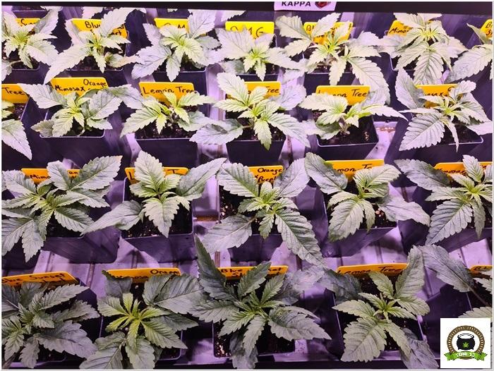 4-Barney`s Farm y Toni13: Lemon Tree, GMO, Mimosa x Orange Punch y Blue S.S-2