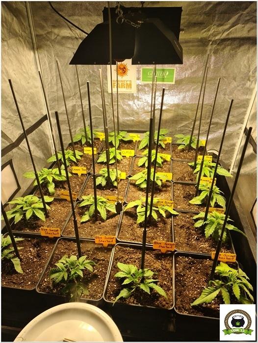 4-Barney`s Farm y Toni13: Lemon Tree, GMO, Mimosa x Orange Punch y Blue S.S-5