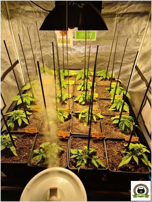 5-Barney`s Farm y Toni13: Lemon Tree, GMO, Mimosa x Orange Punch y Blue S.S-1