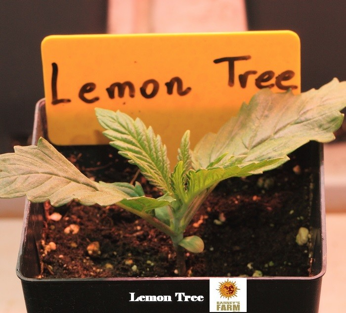 3-Barney`s Farm y Toni13: Lemon Tree, GMO, Mimosa x Orange Punch y Blue S.S-3