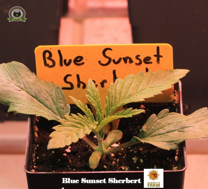 3-Barney`s Farm y Toni13: Lemon Tree, GMO, Mimosa x Orange Punch y Blue S.S-4