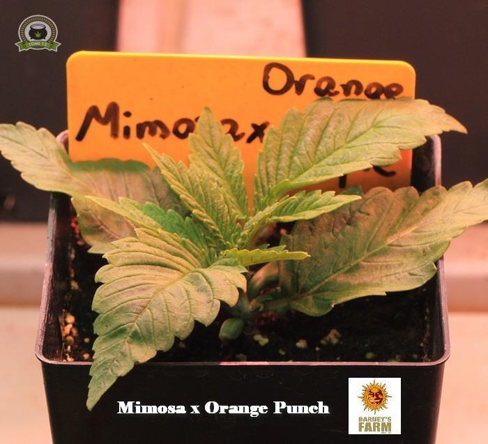 3-Barney`s Farm y Toni13: Lemon Tree, GMO, Mimosa x Orange Punch y Blue S.S-5